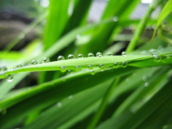 葉の水滴.JPG