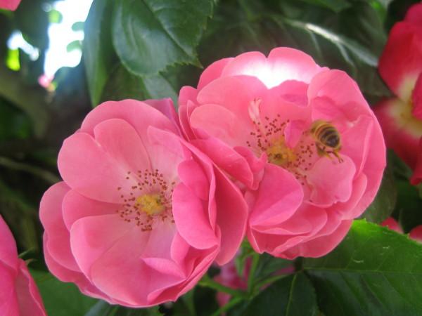 ミツバチとバラ.jpg
