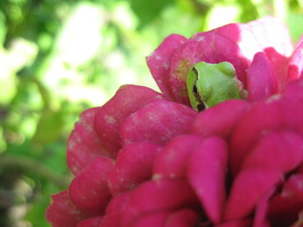 花の中のカエル2.JPG