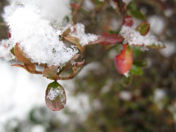 雪の結晶赤い葉っぱ.jpg