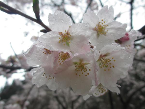 雨の桜600.jpg