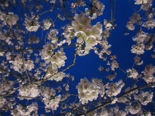 桜と蒼い夜空600.jpg