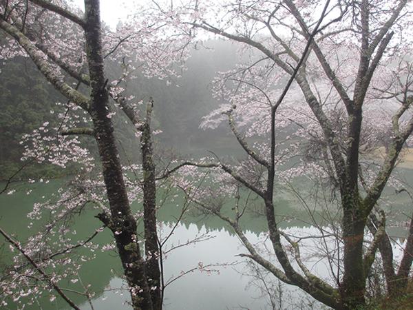翠と桜600.jpg