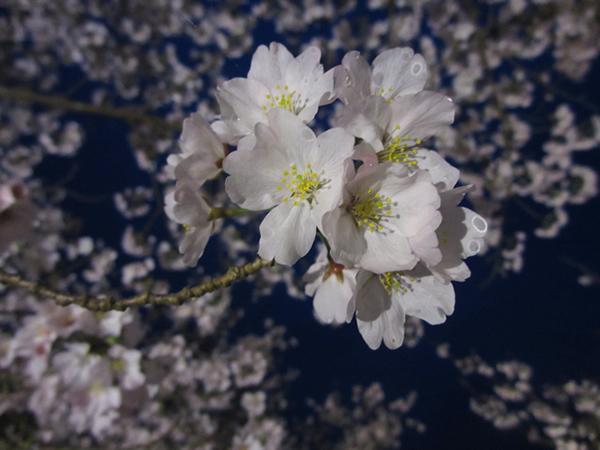 夜桜毬600.jpg