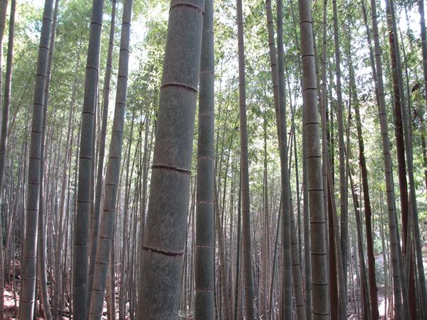 竹林600.jpg