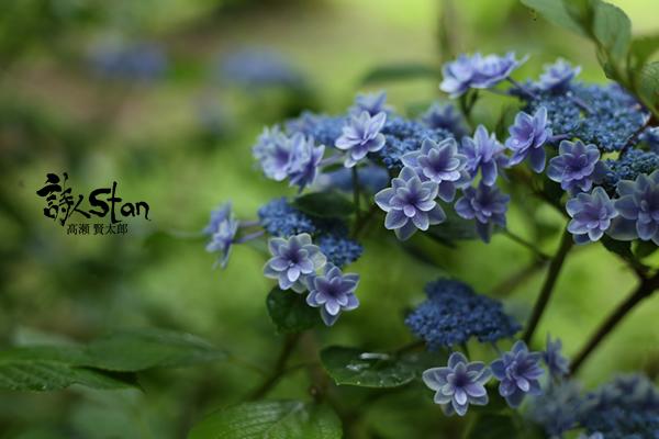 トンカラリン紫陽花600.jpg