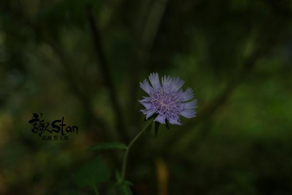 トンカラリン妖しい花600.jpg