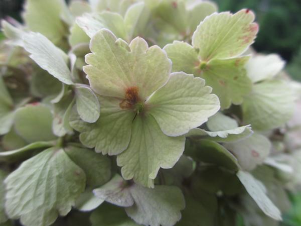 グレートーンの紫陽花600.jpg