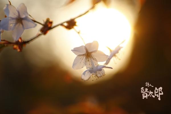桜と太陽3000.jpg