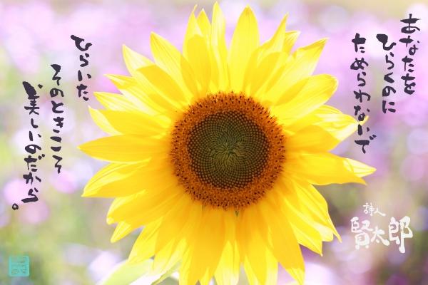 向日葵web3000.jpg