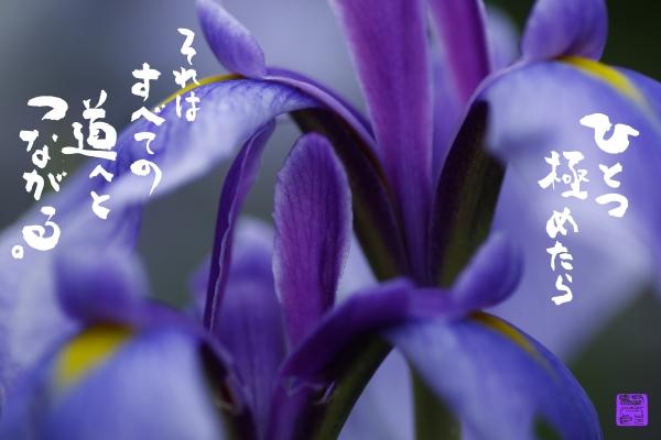 6月花菖蒲.jpg