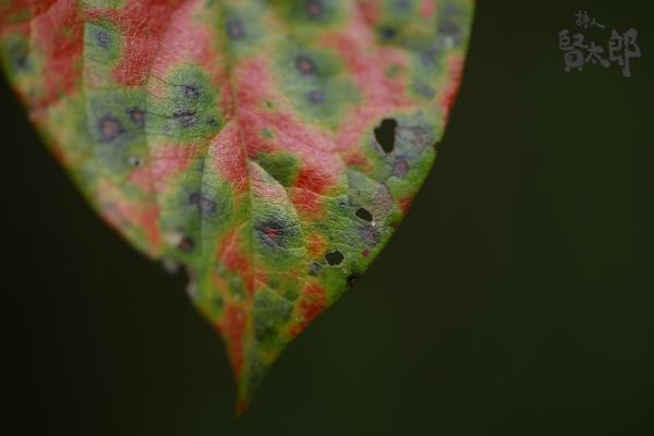 柿の葉さらさら.jpg