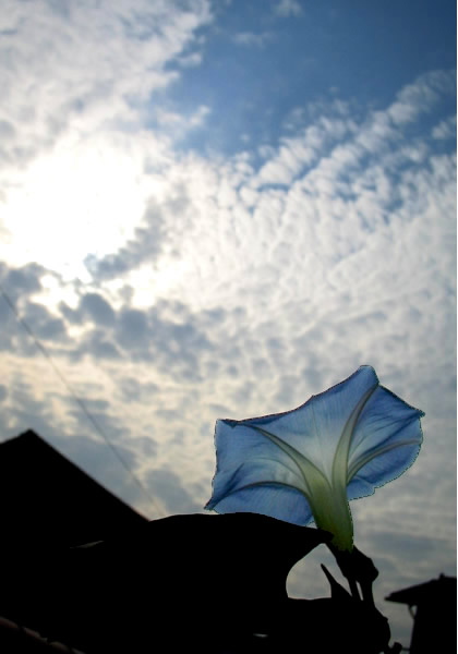 20051103_morningglory