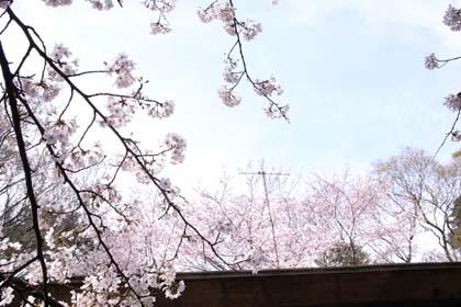 20090404_sakura