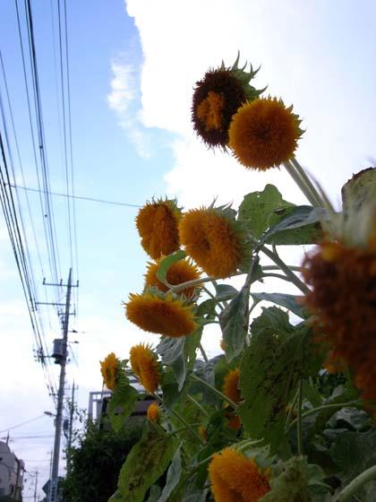 20080816_himawari
