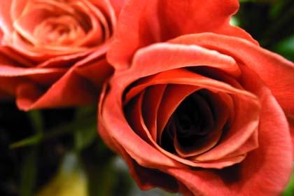 20081002_rose