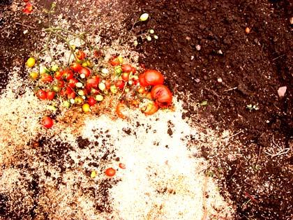 20080830_tomato