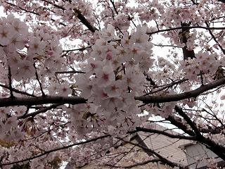 お寺の桜はほぼ満開