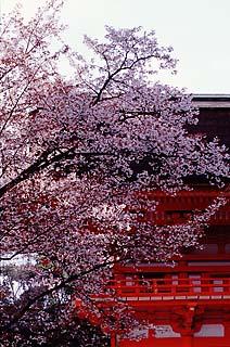 下鴨神社桜
