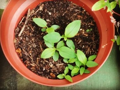 鉢の中の露草
