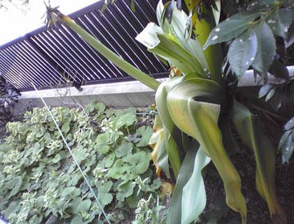 台湾バナナとフキノトウ