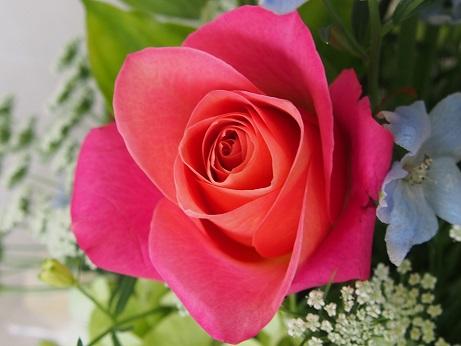 pinkのバラ
