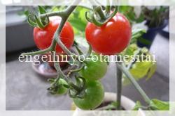 トマトの実1