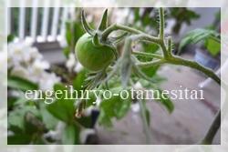 トマトの実2