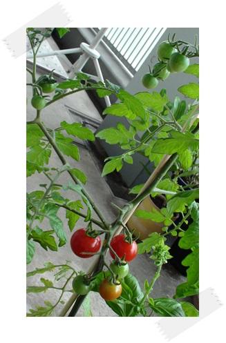 万田アミノアルファでトマトができた