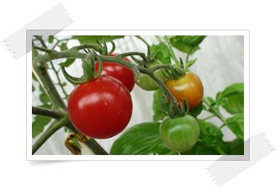 赤くて美味しそうなトマト