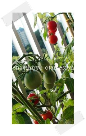 万田アミノアルファで育てたトマト