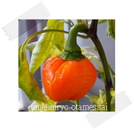 万田アミノアルファプラスで育てたオレンジ色のピーマン