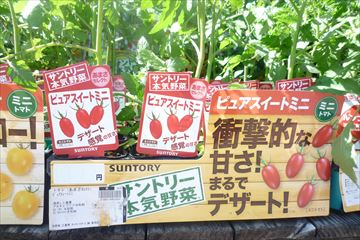 酵素液肥で育ったトマト
