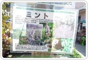 万田アミノアルファプラスでミントをキッチン栽培