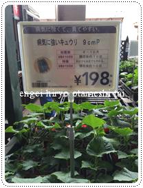 家庭菜園でのキュウリ栽培