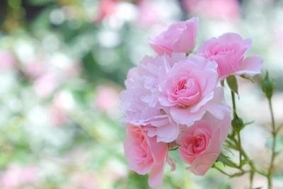 室内でのバラ栽培