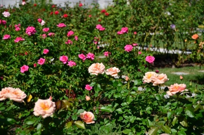 万田アミノアルファプラスでバラ栽培