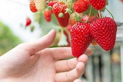 万田アミノアルファでイチゴを育てる