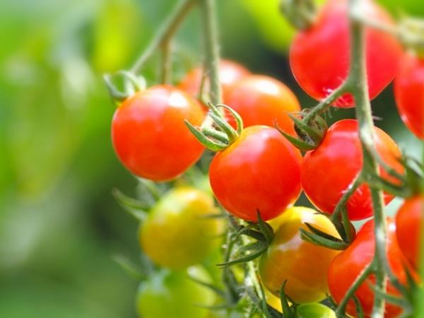 万田アミノアルファプラスでトマト栽培