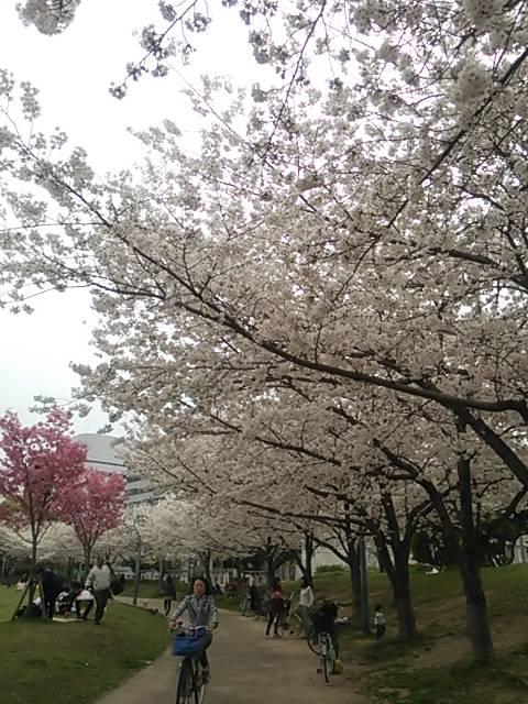 扇町公園桜.JPG