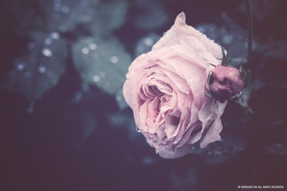 ど根性のバラ