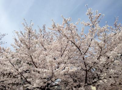 四天王寺の桜2