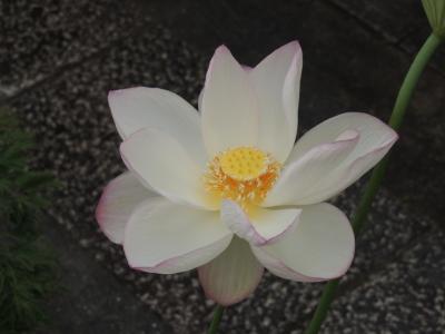 shirohasu