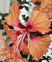 オレンジフラミンゴ