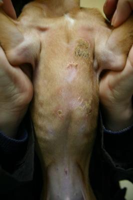 膿皮症のわんちゃん