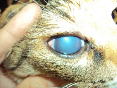 緑内障の猫ちゃん
