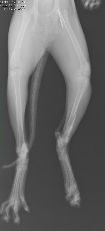 猫の後ろ足骨折の術後についての質問です。 - 宜し …