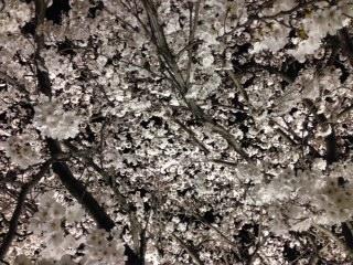 """地元の民間企業『米沢電気工事株式会社』が好意で実施している""""桜のライトアップ""""は、とても美しくて幻想的な雰囲気となり、格別な風情を楽しむことができる。今まさに、零れ落ちそうな位に撓わな姿を見せてくれるので、皆さんも、夜桜見物しませんか〜。"""