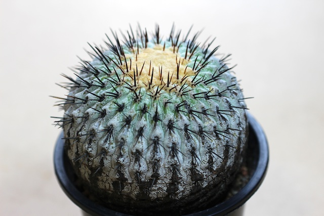 「コピアポア 孤竜丸」の画像検索結果