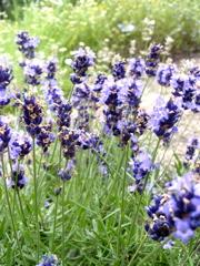 lavender park 9